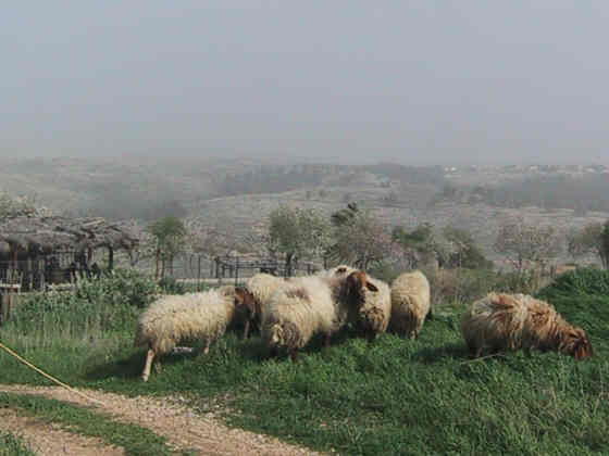 Sheep_Israel